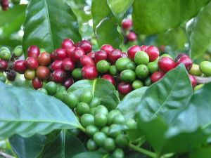 coffee-plant2